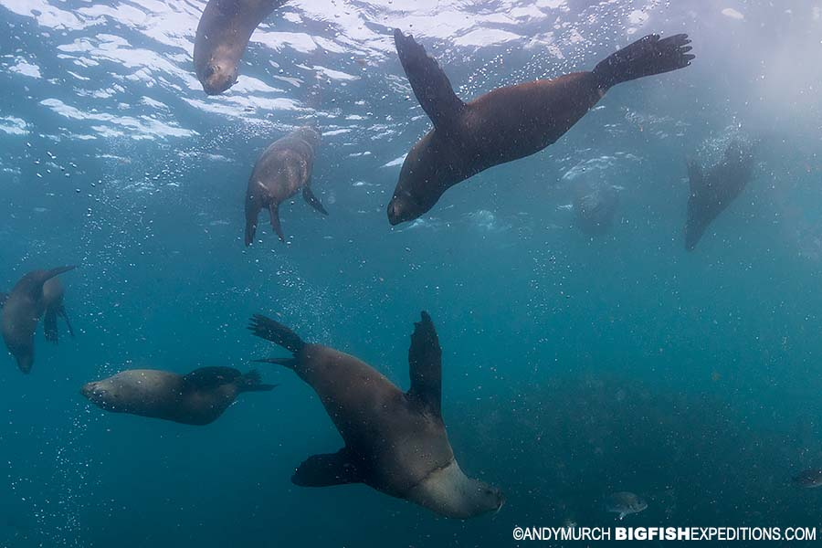 Diving with cape fur seals in False Bay, South Africa.