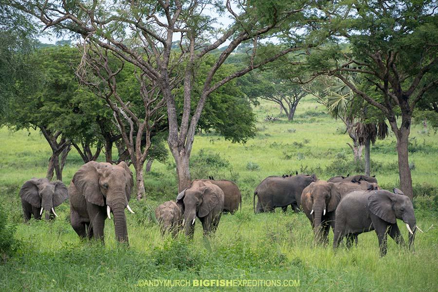Elephant herd on safari in Uganda