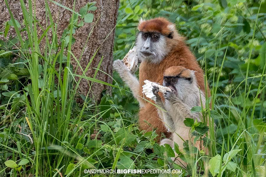 Patas monkeys. Gorilla trekking.