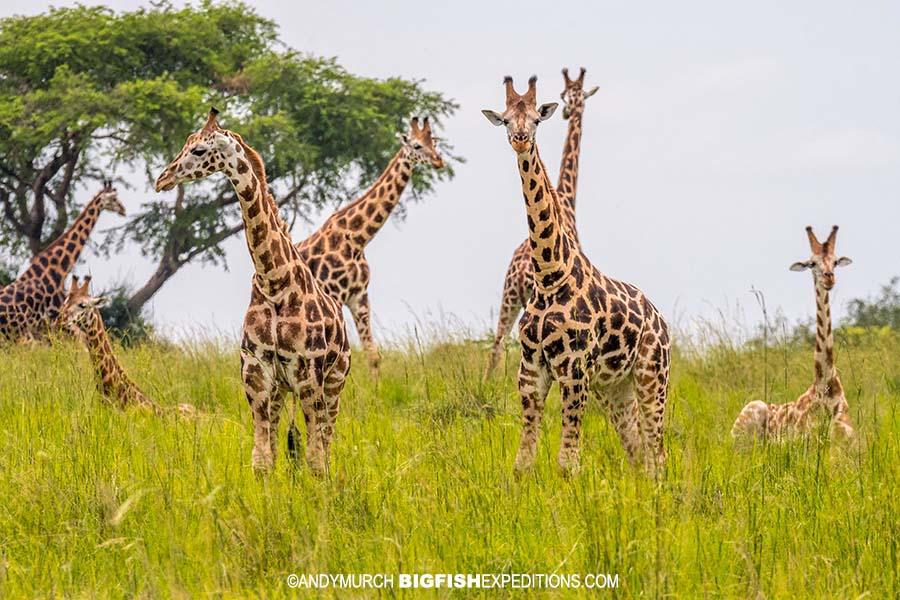 Rothschild giraffes in Uganda Safari.