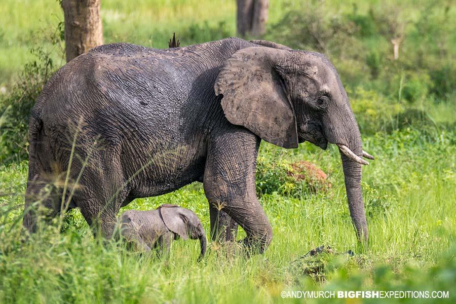 Elephants. Gorilla Trekking in Uganda.
