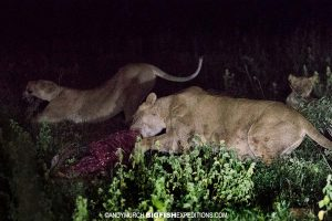 Lions on a fresh kill. Safari