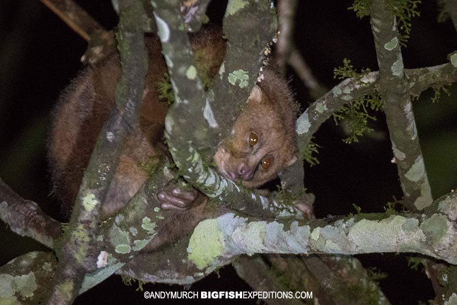 Potto or slow loris on a night walk in Kibale, Uganda.
