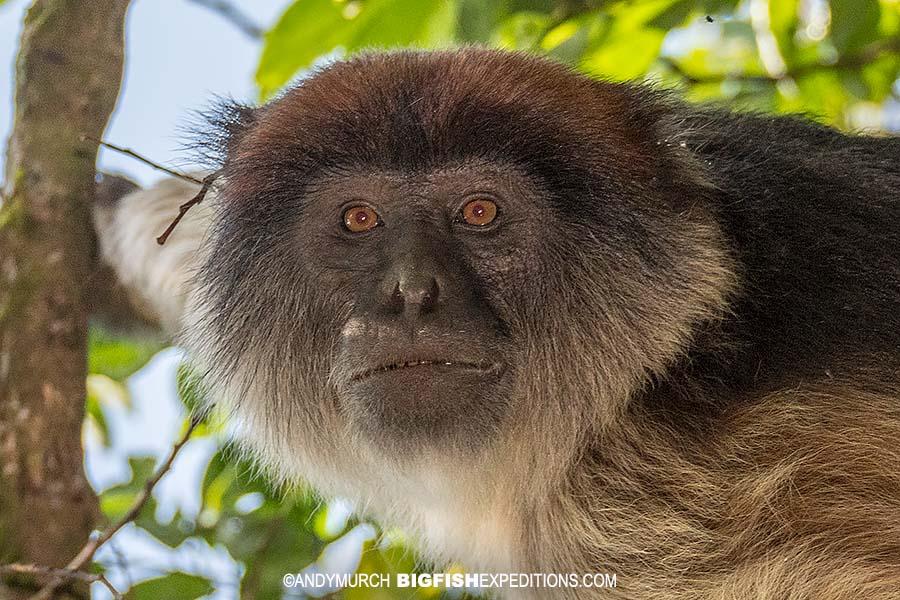 Ashy Red Colobus Monkey. Gorilla trekking.