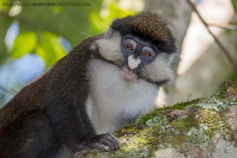 Redtail Monkey in Kibale. Gorilla trekking.
