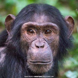Chimpanzee trekking in Kibale.