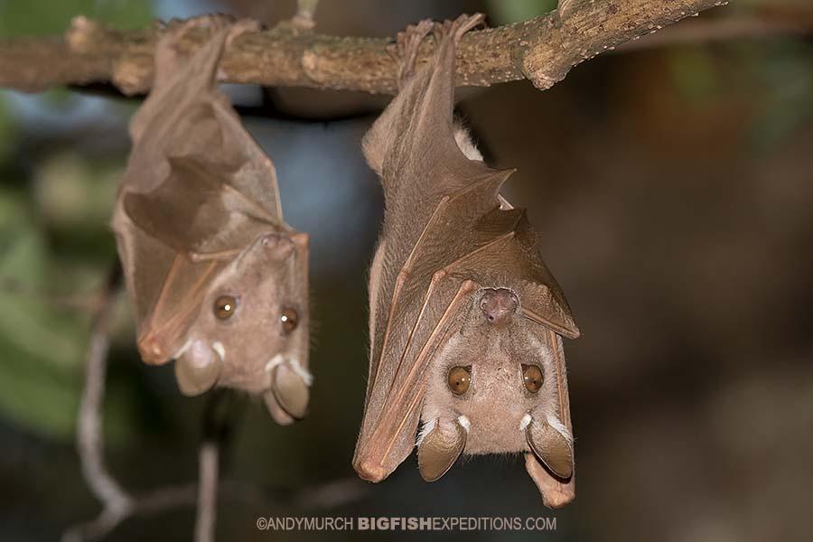 Epauletted Fruit Bats in kibale. Chimpanzee trekking.