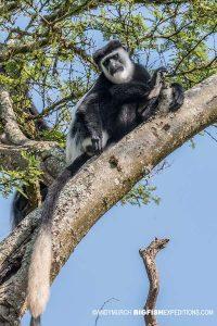 Guereza Colobus Monkey. Gorilla trekking.