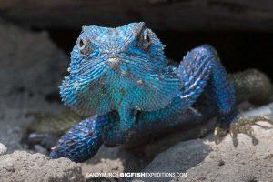 Blue-headed Agama in Queen elizabeth National Park
