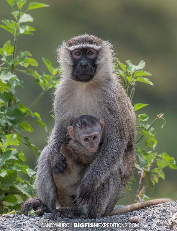Tantalus monkeys on our Uganda primate safari