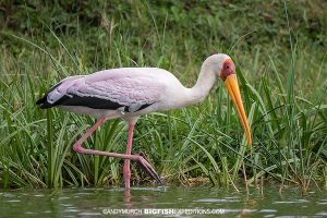 Bird watching in the Kazinga Channel in Uganda.