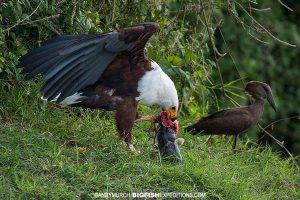 White-headed eagle in the Kazinga Channel.