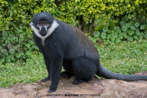 L'hoest's Monkey in Bwindi.