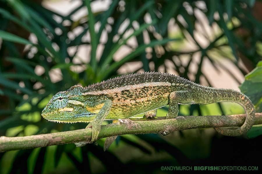 Side-striped Chameleon in Kibale. Gorilla trekking.