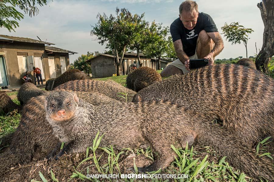 Habituated banded mongooses in Uganda.
