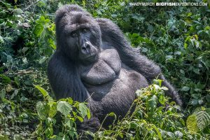 Silverback gorilla in Bwindi.