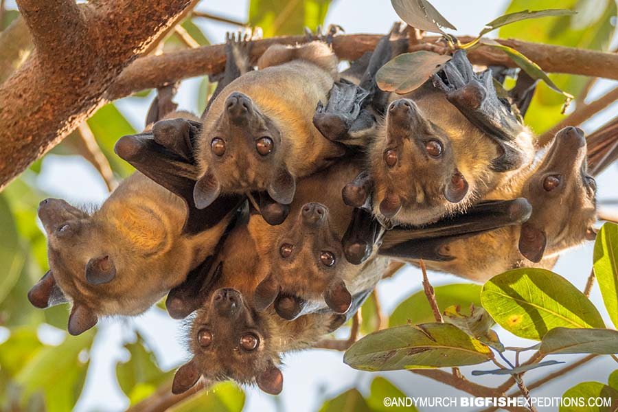 Straw coloured fruit bats