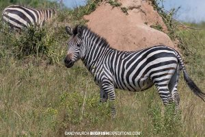 Burchell's zebras at Lake Mboro, Uganda.