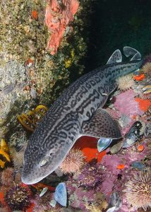 Leopard catshark, South Africa.