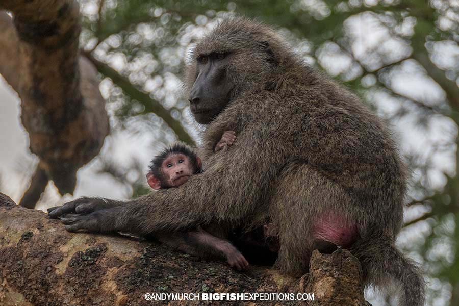 Olive baboon with baby. Gorilla trekking.