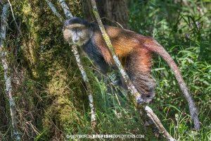 Virungas Golden Monkey trek