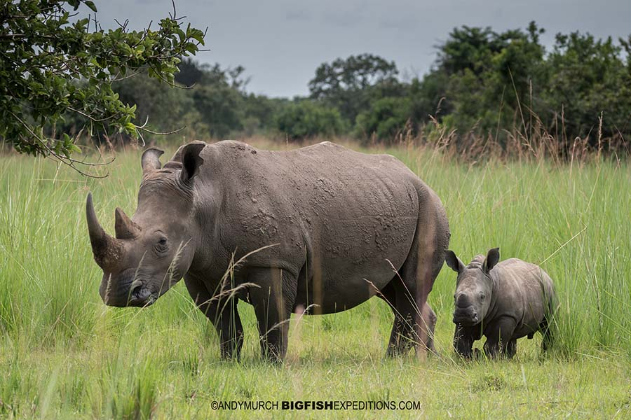 Walking with Rhinos in Ziwa