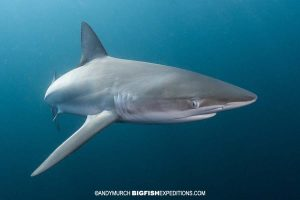 Dusky shark snorkeling on the Sardine Run
