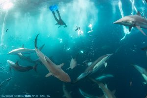 diving with sharks, dolphins and gannets on the Sardine Run