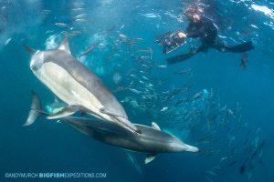 Dolphins feeding on a bait ball on the Sardine Run.