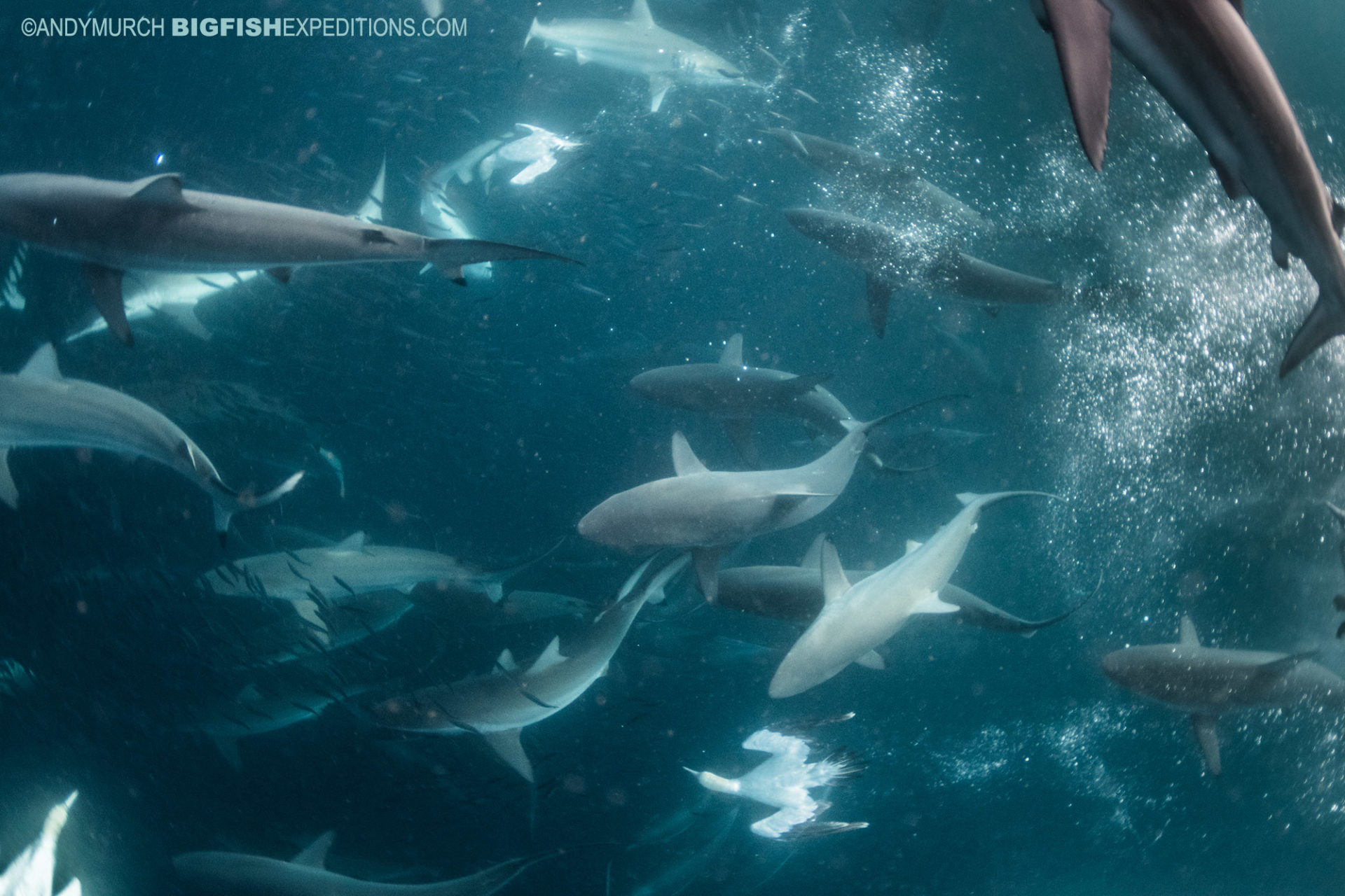 Diving with sharks, dolphins and cape gannets on the Sardine Run.