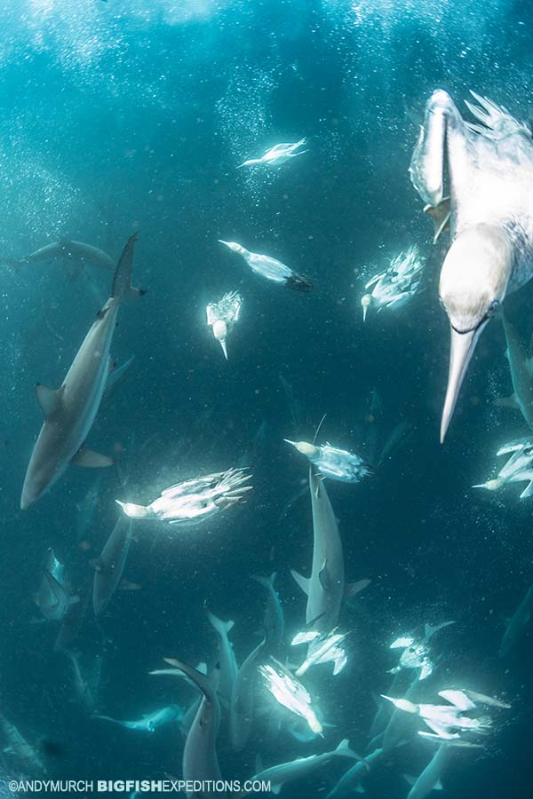 Diving with gannets on the Sardine Run