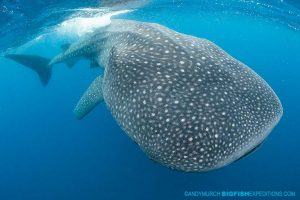 World class snorkeling with whale sharks