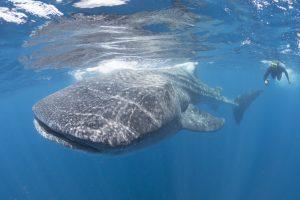 A snorkeler with a huge whale shark.