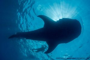 Snorkeling with whale sharks in Mexico
