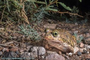 Frog and toad photography. Herping Arizona.