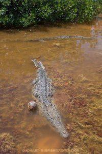 Crocodiles in the lagoon in Cayo Grande, Chinchorro.