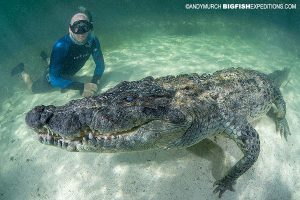 Snorkeling with American Crocodiles