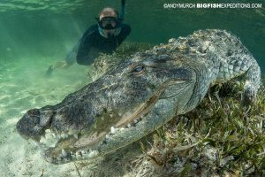 Snorkeling with American Crocodiles