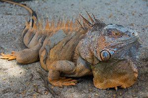 Green Iguana. Snorkeling with crocodiles.