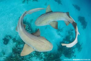 Shark diving at Chinchorro