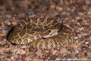 Rattlesnake Photography. Herping Arizona.