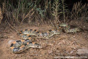 Long-nosed snake photography. Herping Arizona.