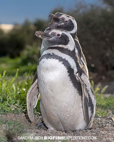 Magellanic penguins in Peninsula Valdez.