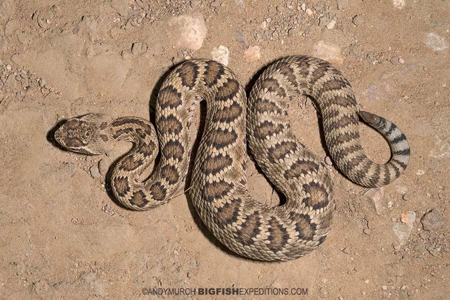 Mojave rattlesnake photography. Herping Arizona.