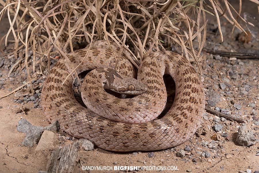 Night Snake. Herping Arizona.
