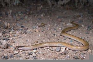 Plains black headed snake photography. Herping Arizona.