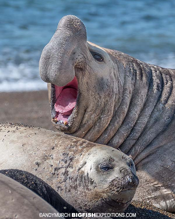 Southern elephant seal in Patagonia.
