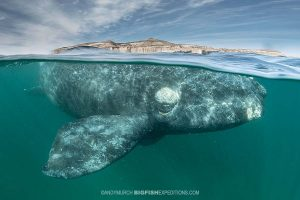 Southern right whale snorkeling photography