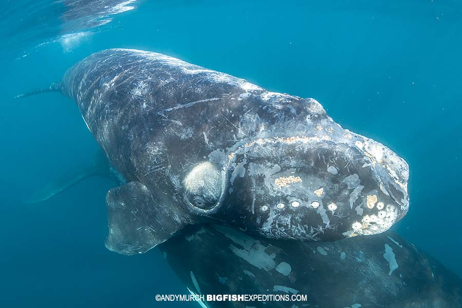 Southern Right Whale calf resting on its mother's tail.