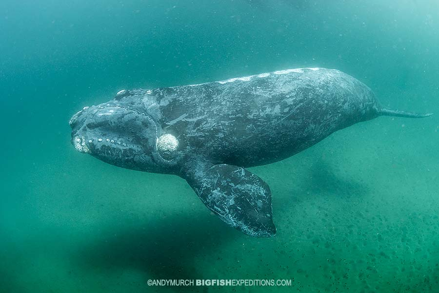 Southern Right Whale Photography and Snorkeling.